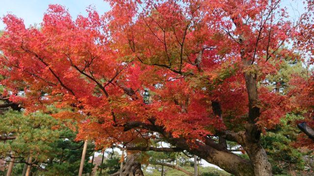 根上松の裏の紅葉